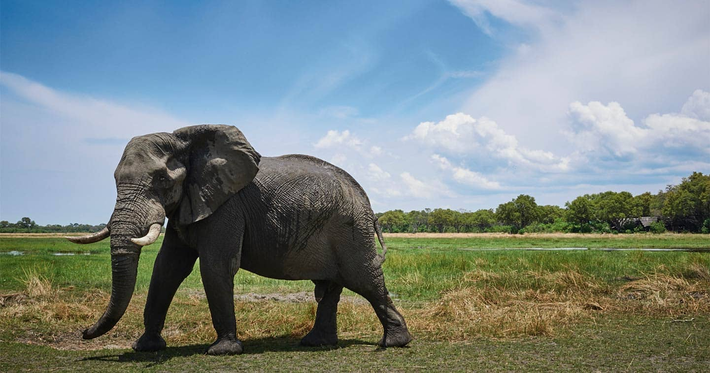 Elephant up close and personal in Moremi, the ideal place for a Big Five safari