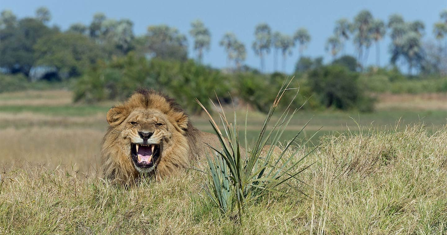 Moremi lion spotted during a Big Five Safari